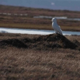 11-snowy-owl-hunting-lemmings