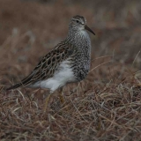2-male-pectoral-sandpiper-on-watch