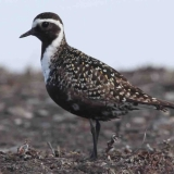6-american-golden-plover-female