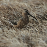 3-female-long-billed-dowitcher