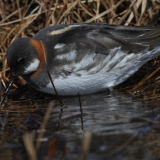 5-female-red-necked-phalarope
