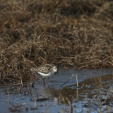 7-semipalmated-sandpiper-on-beach-2