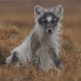 arctic-fox-shedding