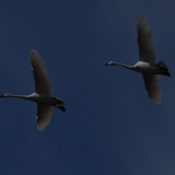12-tundra-swans-in-flight