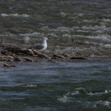 9-herring-gull