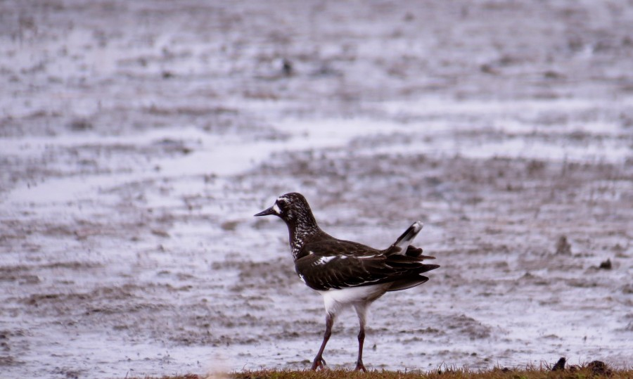 The bulk of the world population of Black Turnstones breed in the Yukon-Kuskokwim Delta. Full of personality, the turnstones lead a highly vocal aerial assault on any predators invading their territory.