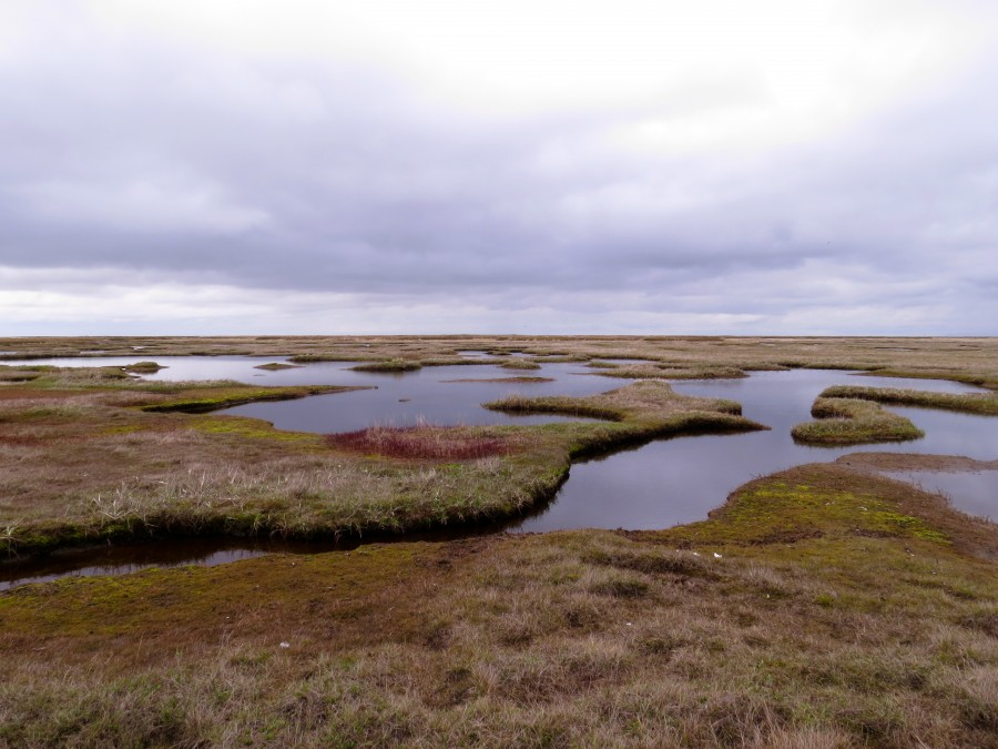 The low tundra closest to the ocean featured many sinuous sloughs and small ponds. The most common shorebirds in this habitat were Dunlin, Red-necked Phalarope, Semipalmated Sandpiper and Black Turnstone.