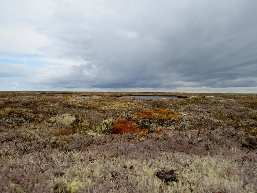 The tundra quickly changed personality on higher ground. This heath-like tundra had an amazing array of subtle colors, comprised of crunchy lichens, mosses and low-lying plants. This is where we found all of our Black-bellied Plovers, Western Sandpipers, Rock Sandpipers, and Ruddy Turnstones.