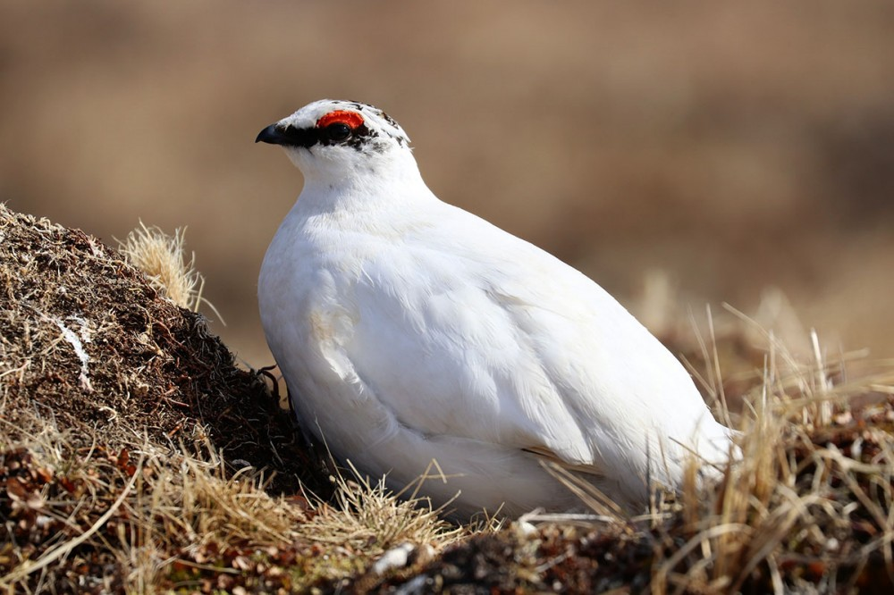 This male Rock Ptarmigan makes himself highly visible to deflect attention from the incredibly cryptic female incubating their eggs nearby. Photo: Shiloh Schulte
