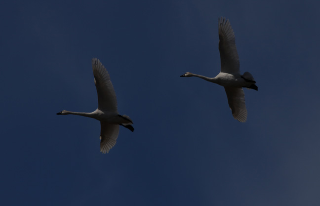 12. Tundra Swans in Flight