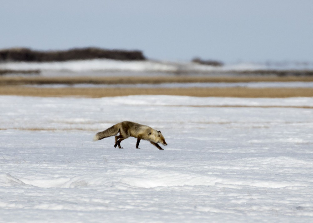 This Red Fox still has its thick winter coat as it hunts in the swamp next to camp. Photo: Shiloh Schulte