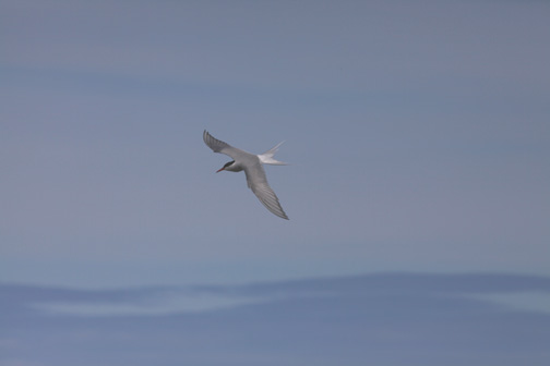 An Arctic Tern hunts for tiny shrimp-like isopods along the edge of the Hudson Bay ice.