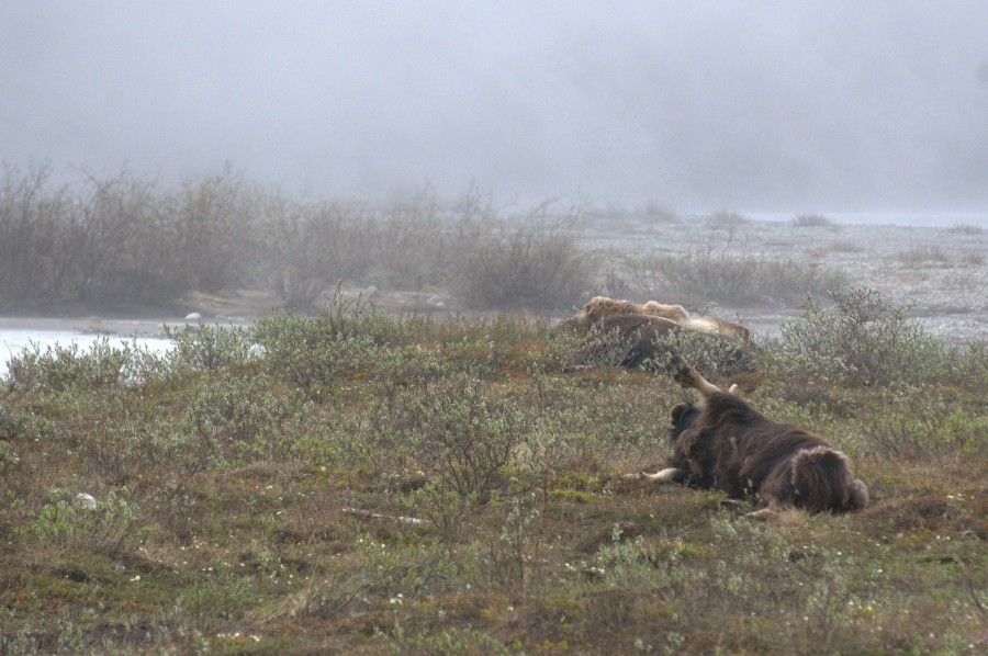 Photo Credit: Lindall Kidd. One group of musk ox was sleeping when we came past them; upon waking, this one had a good stretch and roll on the tundra.