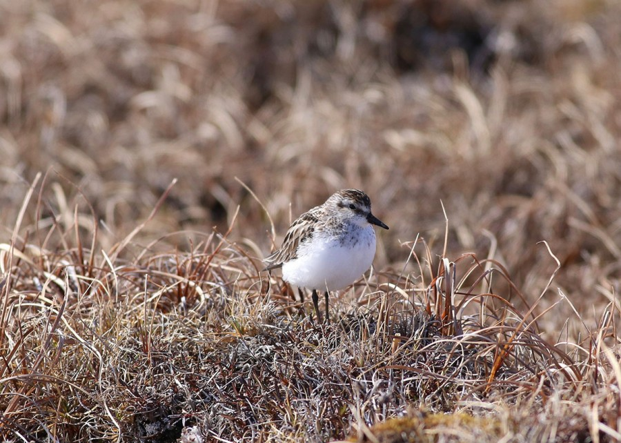 This Semipalmated Sandpiper stays close to the ground in windy conditions. Photo: Alan Kneidel