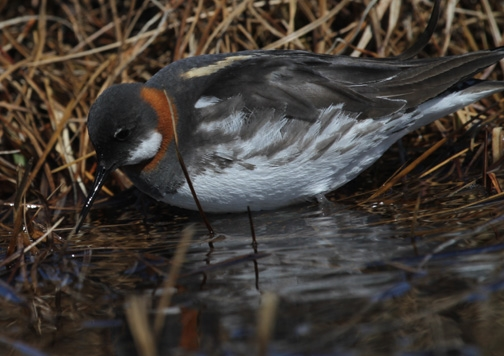 5  Female Red-necked Phalarope