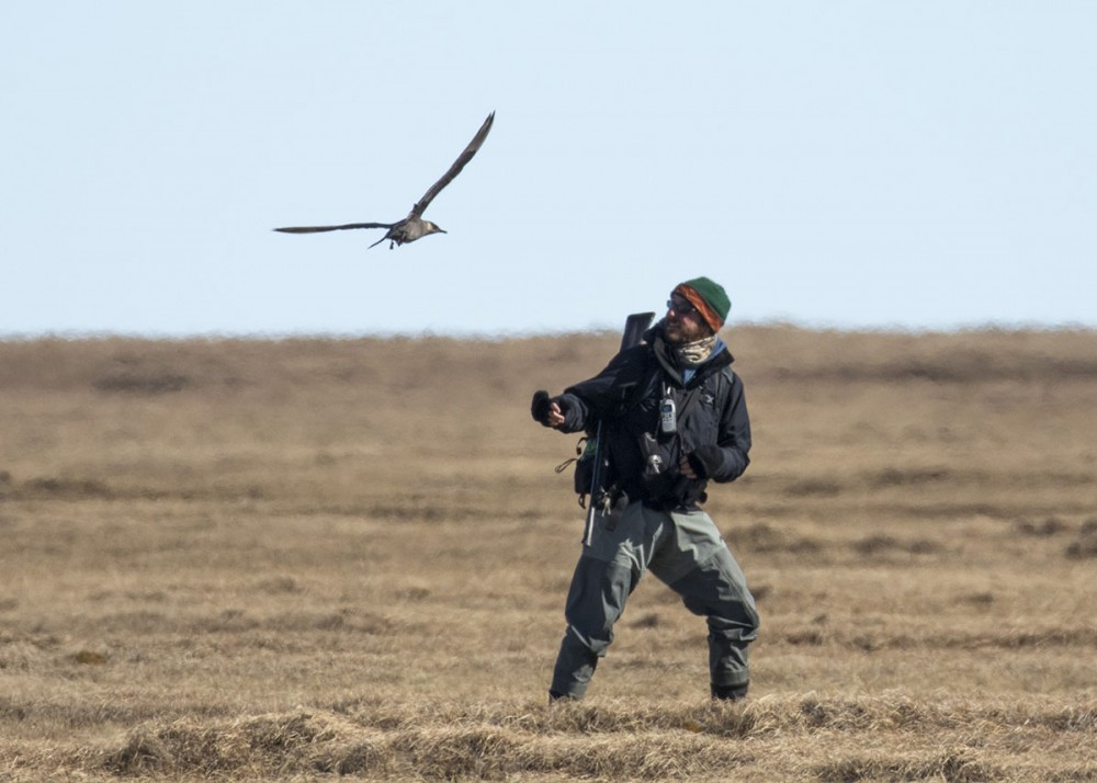 And here Shiloh catches a Parasitic Jaeger giving Alex a hard time! Photo: Shiloh Schulte