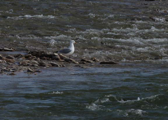 Herring gull by the river near camp.