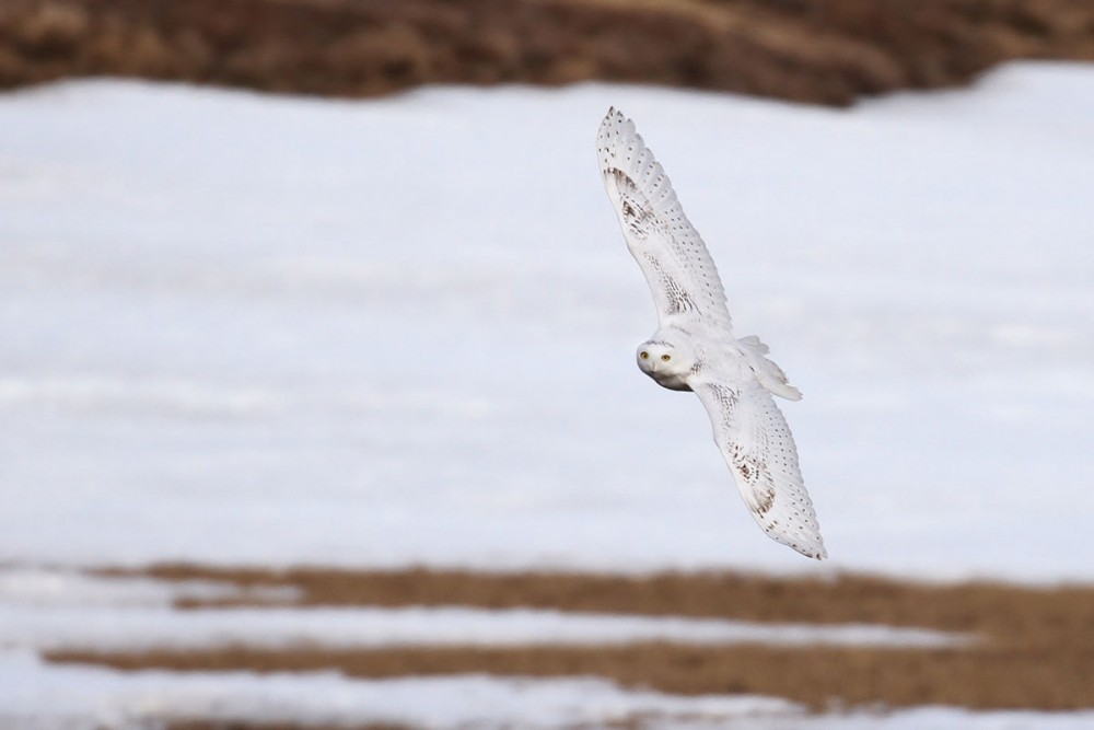 This Snowy Owl landed right across the Staines River from camp one evening after dinner, then did a close fly by to check us out. Photo: Alex Lamoreaux