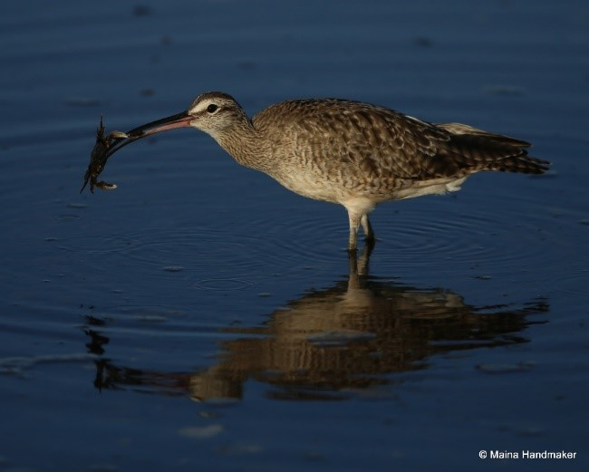 A Whimbrel works on