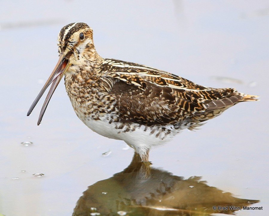 A Wilson's Snipe calls to its mate.