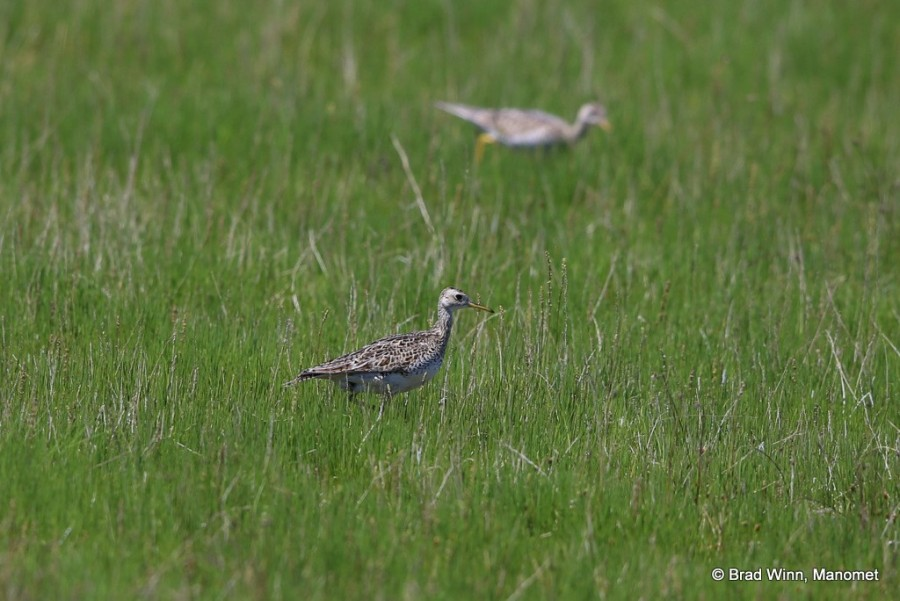 A pair of Upland Sandpiper forage along the edges of Chaplin Lake, Saskatchewan.