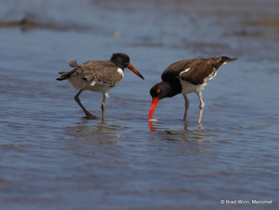 American Oystercatcher with chick in Lagoa do Peixe.