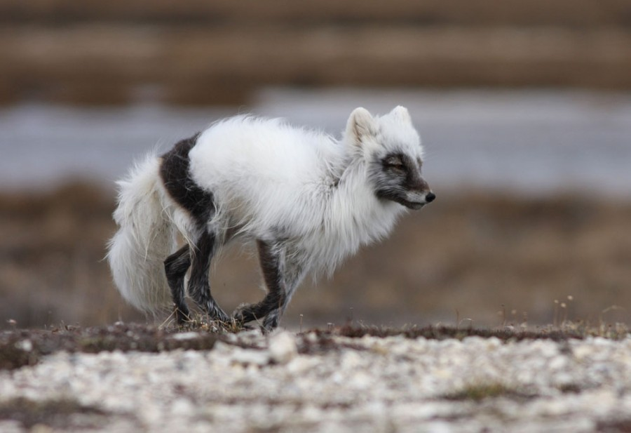 An Arctic Fox lopes along a gravel ridge in search of waterfowl and shorebird nests