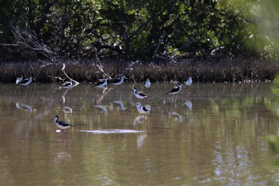Black-necked Stilts (Himantopus mexicanus)make their way through the shallow waters of Salina Fortuna  (Brad Winn)