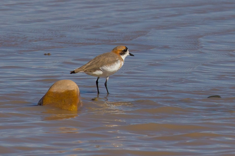The Puna Plover. ©G. Donaldson.