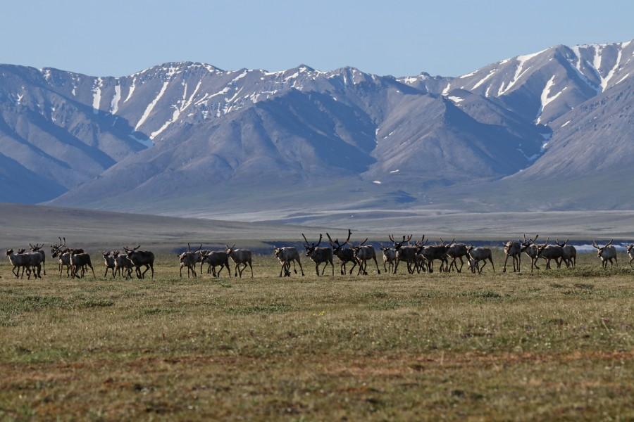 Caribou moving through the valley on their way to the coast.