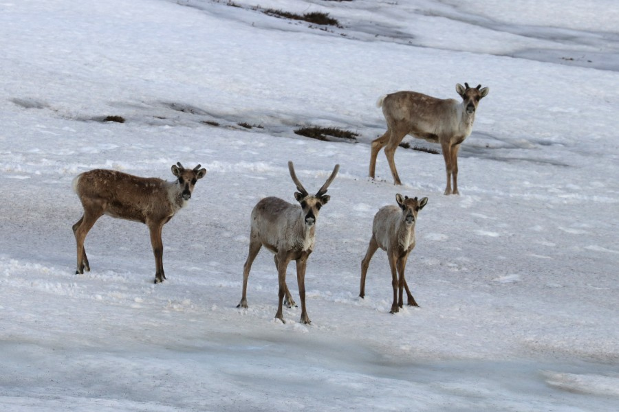 Caribou use the lingering snow and ice fields to escape the hordes of mosquitos.