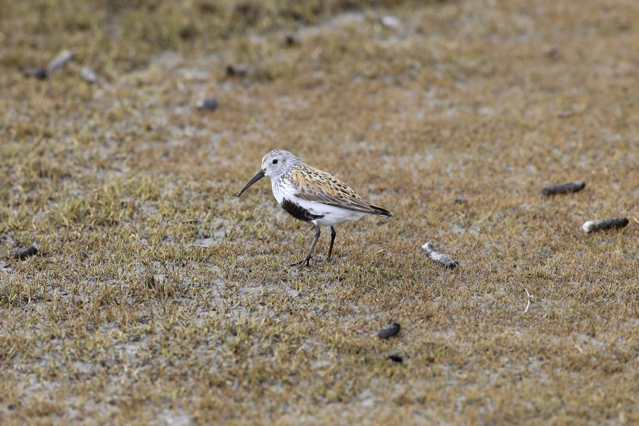 Dunlin are abundant breeders in the grassy, wet meadows of the Yukon Delta. In these habitats they reach some of the greatest estimated densities of any shorebird we surveyed, with up to 15 breeding pairs being estimated in a single 400 meter x 400 meter plot.
