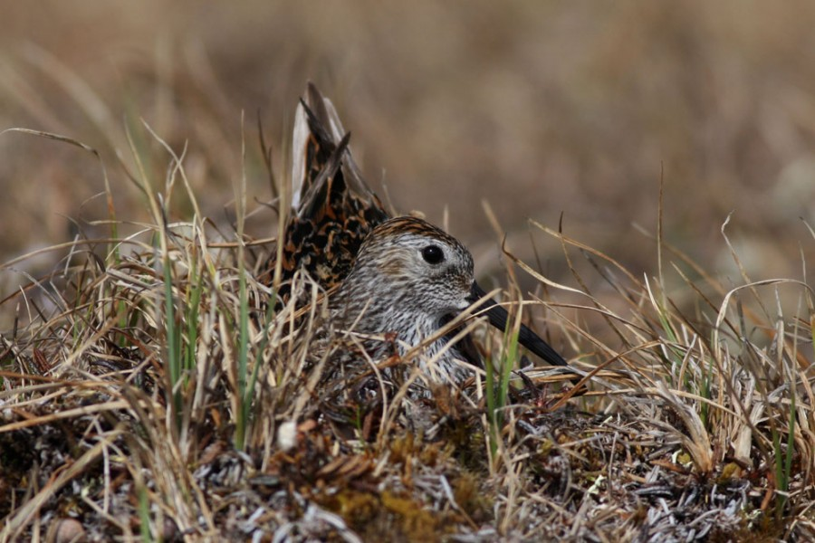 A Dunlin stares back at me from her nest on a small mound.