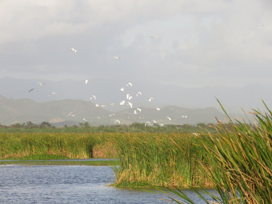 Great Egrets (Ardea alba) alight in the freshwater wetlands of Laguna Cartagena (Lisa Sorenson)