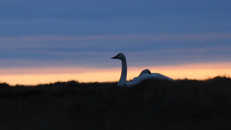 A pair of Tundra Swans resting at sunset
