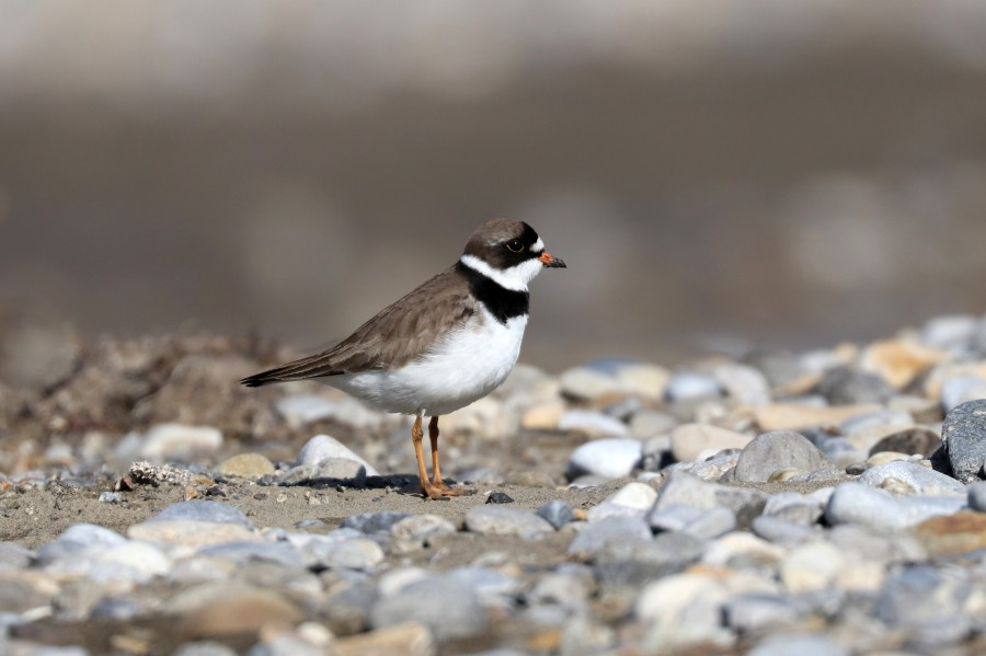 We saw more birds that use riverine habitats on the survey this year, like this Semipalmated Plover…