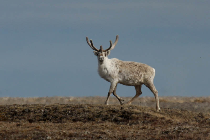 A bull caribou trying to catch our scent