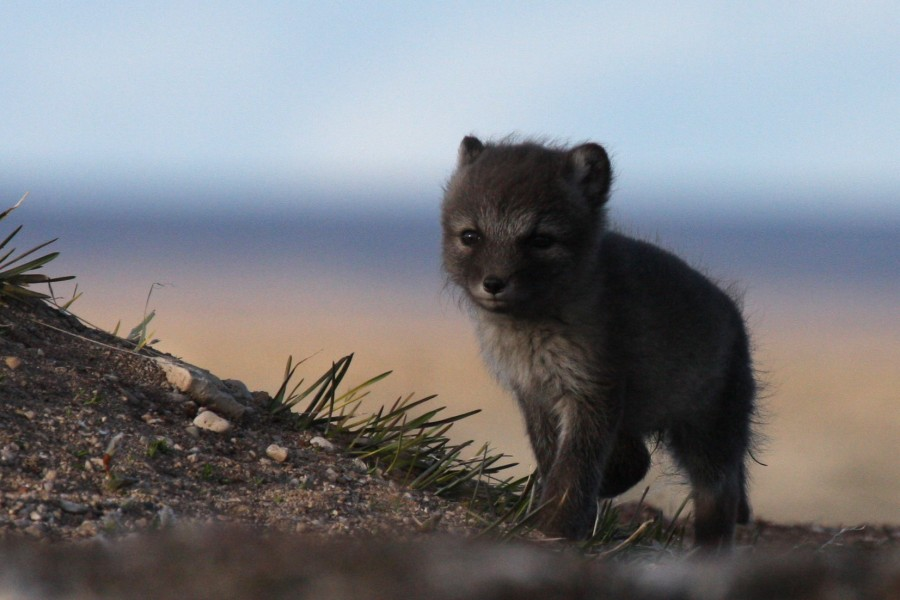 An Arctic Fox kit explores the world just outside its den. Arctic Foxes are the main predator of shorebird nests. They survive the harsh arctic winters by finding and caching eggs and other food during the brief but productive summer months