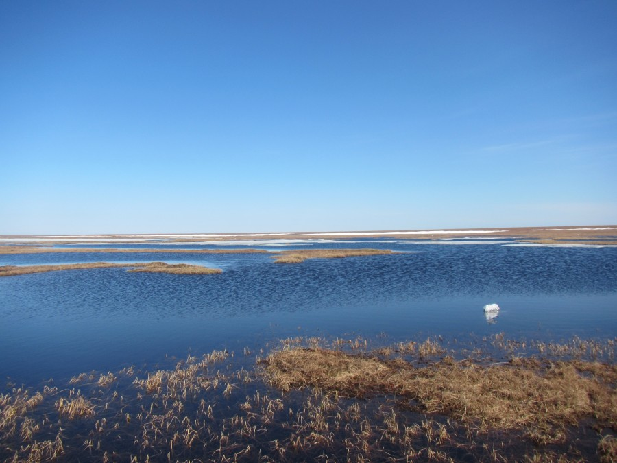 The lower parts of the coastal plain are full of wetlands like this one, and the abundant water makes for a high density and diversity of shorebirds and waterfowl.  As long as there are small higher places to nest!