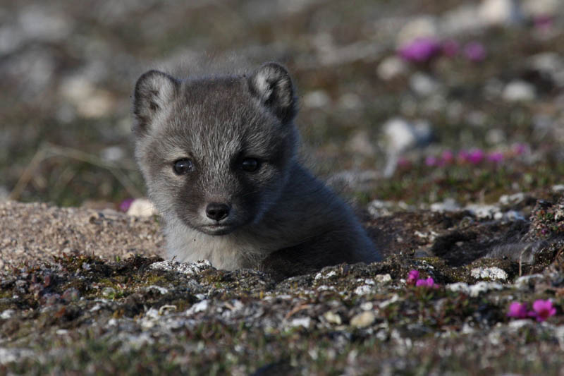 Arctic Fox kits win the prize for cutest babies on the tundra.