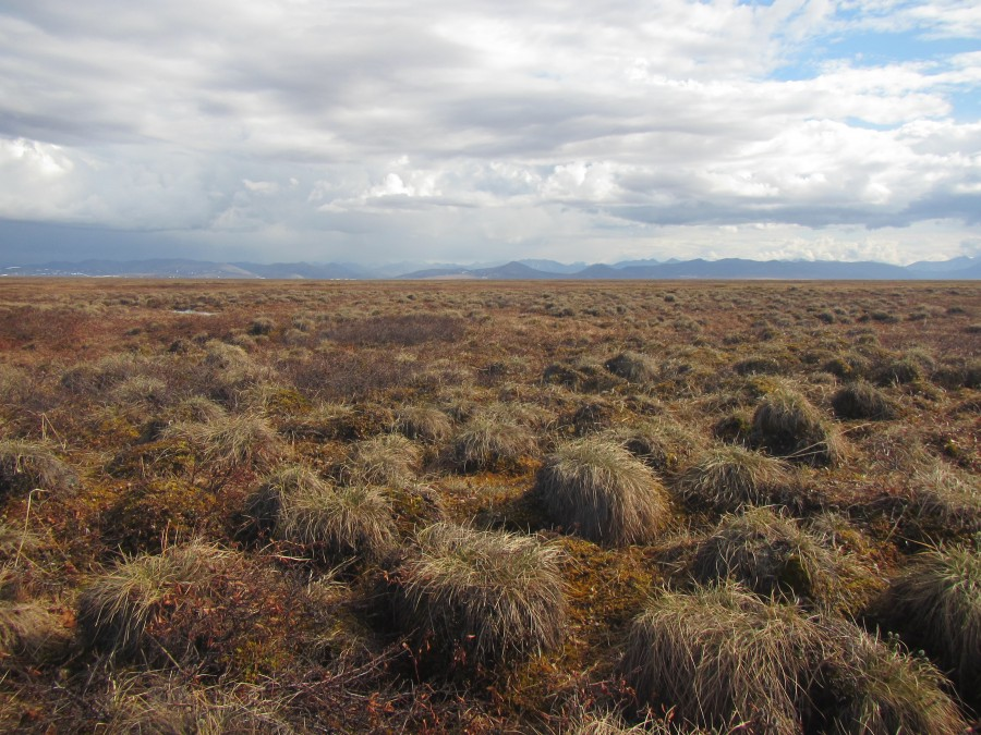 Drier upland tundra like this tussock tundra generally has fewer birds, but sometimes has some, and there are lovely views of the upper parts of the coastal plain to distract you from the ankle and knee busting terrain.