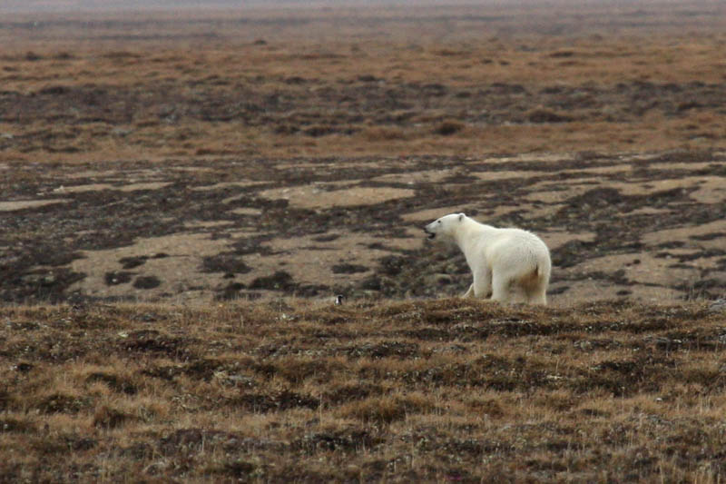 A male Polar Bear retreating from camp. This bear was in camp when we got up, but ran off quickly when we fired off a warning shot. The Polar Bears are moving inland early this year because of the lack of sea ice.