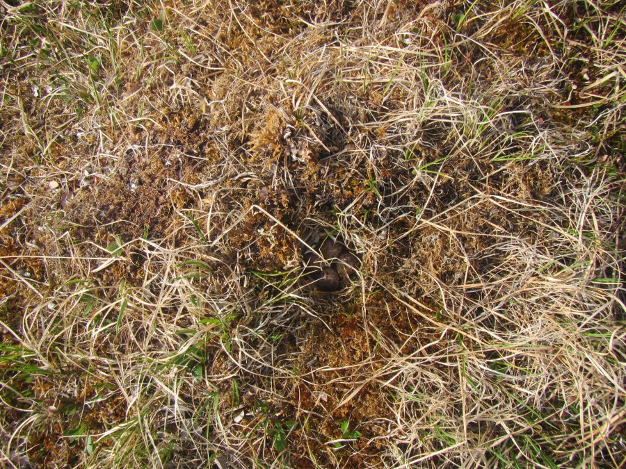 Here's the nest, well camouflaged in the tundra.  It's very difficult to find shorebird nests without cues from the adults.  That's why we count the adults and not the nests. Photo credit Stephen Brown/USFWS