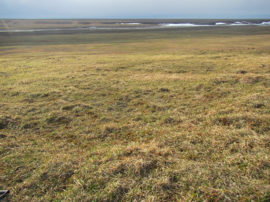 Can you see the Semipalmated Sandpiper nest in this photo?  I can't either, and I know where it is, in a small mound in the center of the foreground.  And that's camp in the background. Photo credit Stephen Brown/USFWS