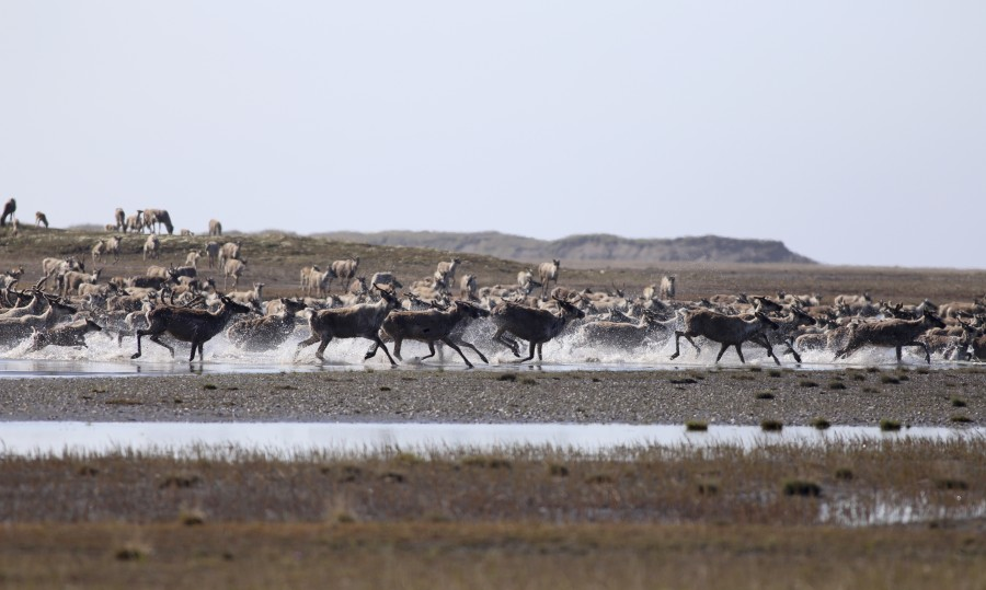 As the season progressed, large herds of Caribou became a regular sight. It is during this period that herds move towards the coast, where stronger winds and colder temperatures help combat the harassment of Oestrid flies and mosquitos. This photograph features part of a herd of roughly 500 individuals that crossed the river below our camp, featuring a mix of mothers and calves as well as a few bulls with large racks.