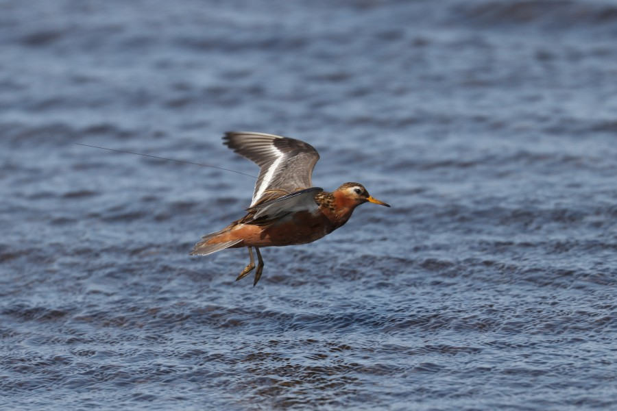 A GPS-tagged Red Phalarope coming in for landing. These birds spend the winter on the open Pacific Ocean, but their migration routes and exact wintering areas remain a mystery. Hopefully this study will help resolve that.