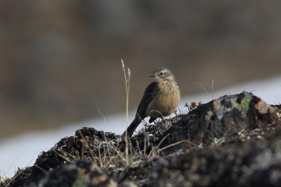 American Pipits were calling and displaying in the hills around Iqaluit