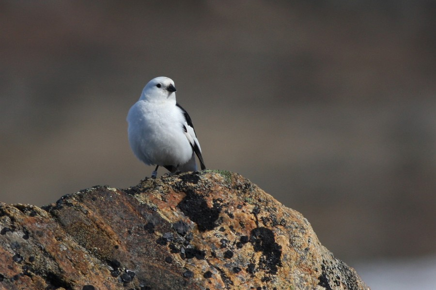 Snow Buntings, like this stunning male, nest in the cracks and crevices of Baffin Island's formidable landscape.