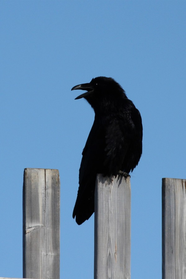 Ravens are the most abundant bird in Iqaluit. Hundreds inhabit the town and can be heard chattering and playing at all hours of the day and night.