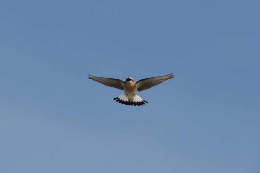 A Northern Wheatear in display flight in the hills above Iqaluit.